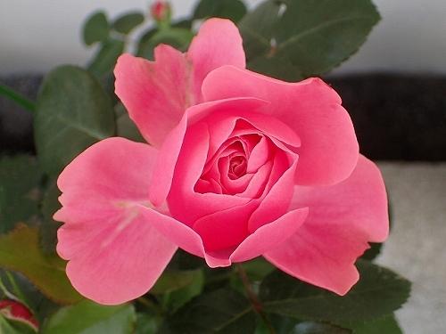 「ピエール・ドゥ・ロンサール」と「レオナルド・ダ・ヴィンチ」が開花_e0289203_16495597.jpg