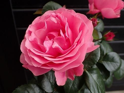 「ピエール・ドゥ・ロンサール」と「レオナルド・ダ・ヴィンチ」が開花_e0289203_16500068.jpg