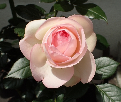 「ピエール・ドゥ・ロンサール」と「レオナルド・ダ・ヴィンチ」が開花_e0289203_19485040.jpg