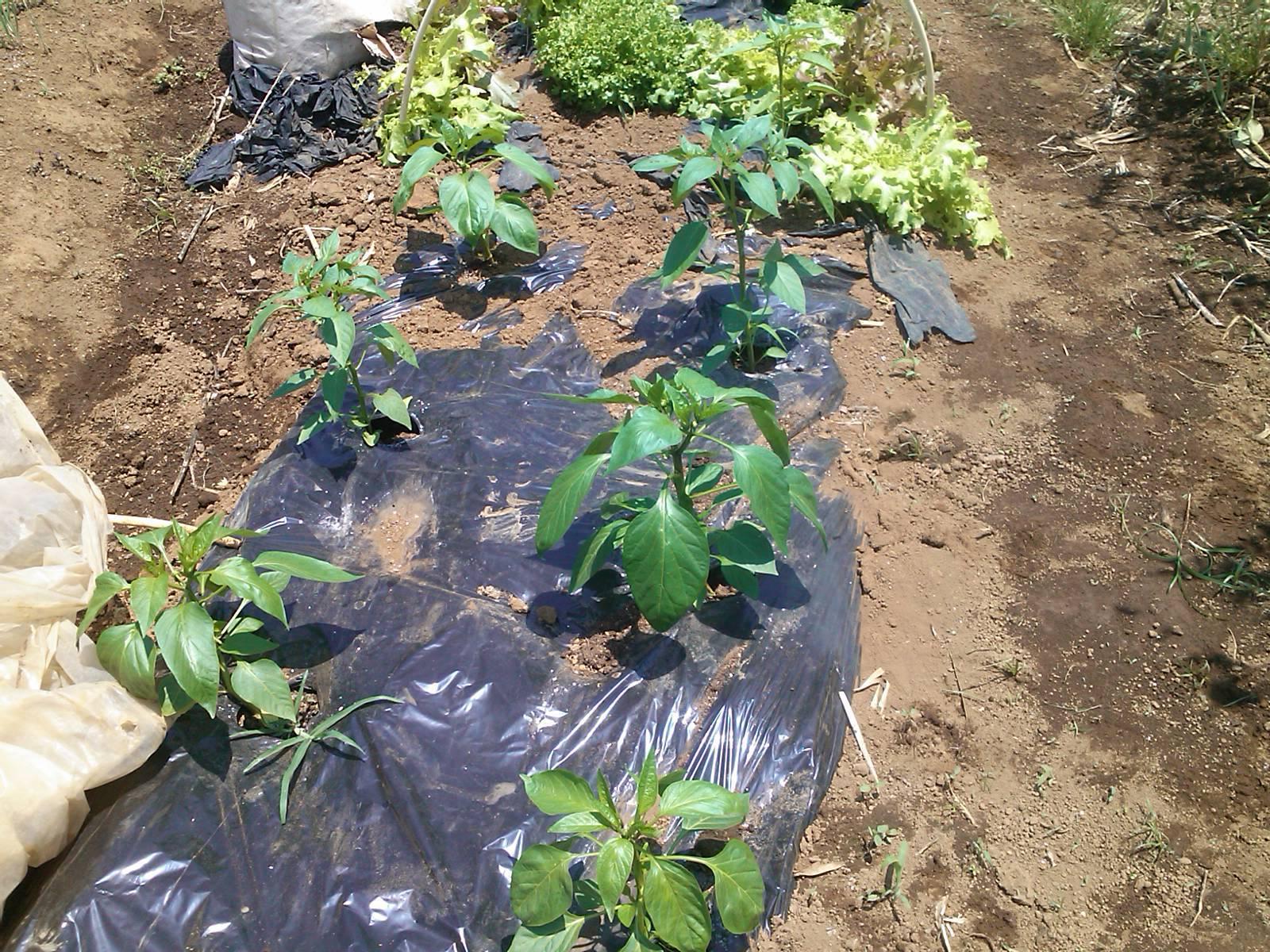 夏野菜の手入れ_b0137932_17502398.jpg