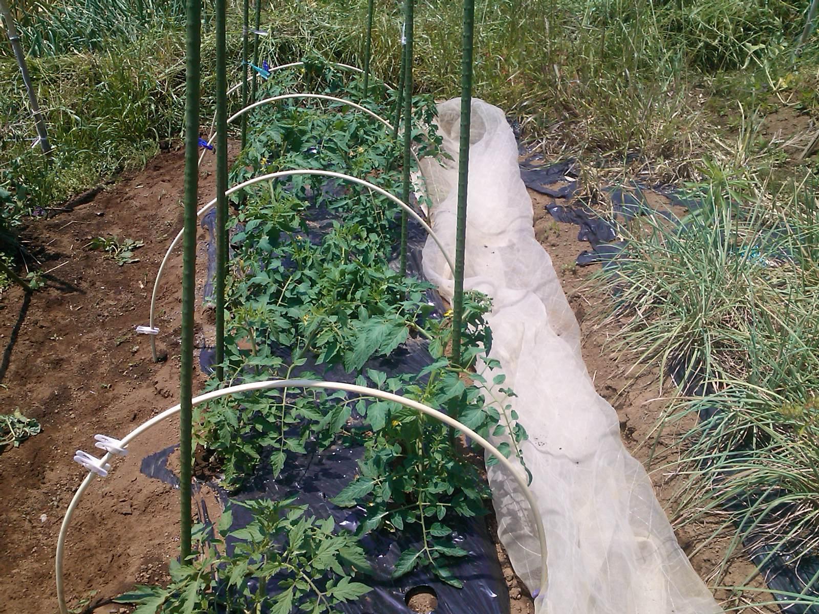 夏野菜の手入れ_b0137932_17512677.jpg