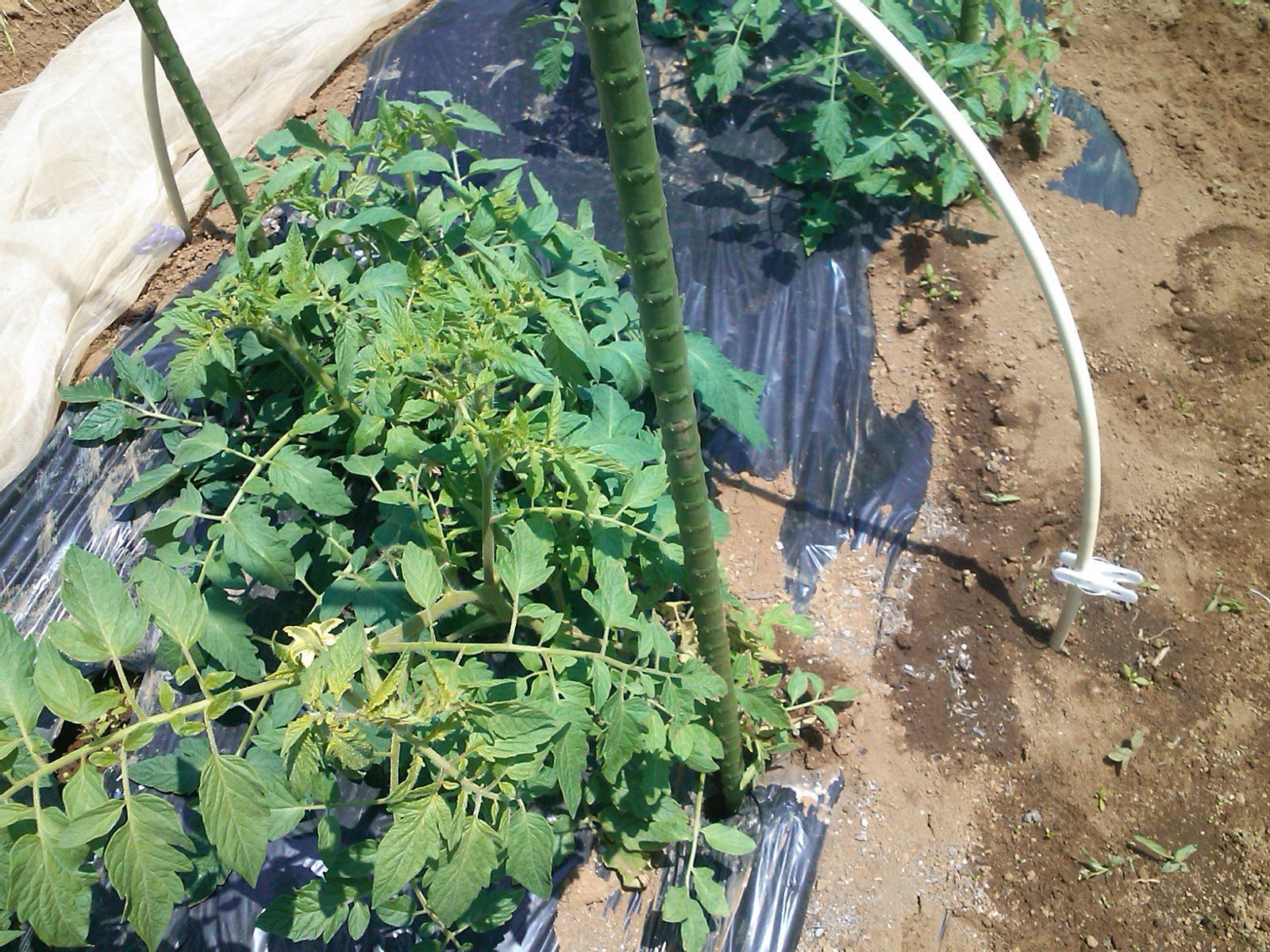 夏野菜の手入れ_b0137932_17521014.jpg