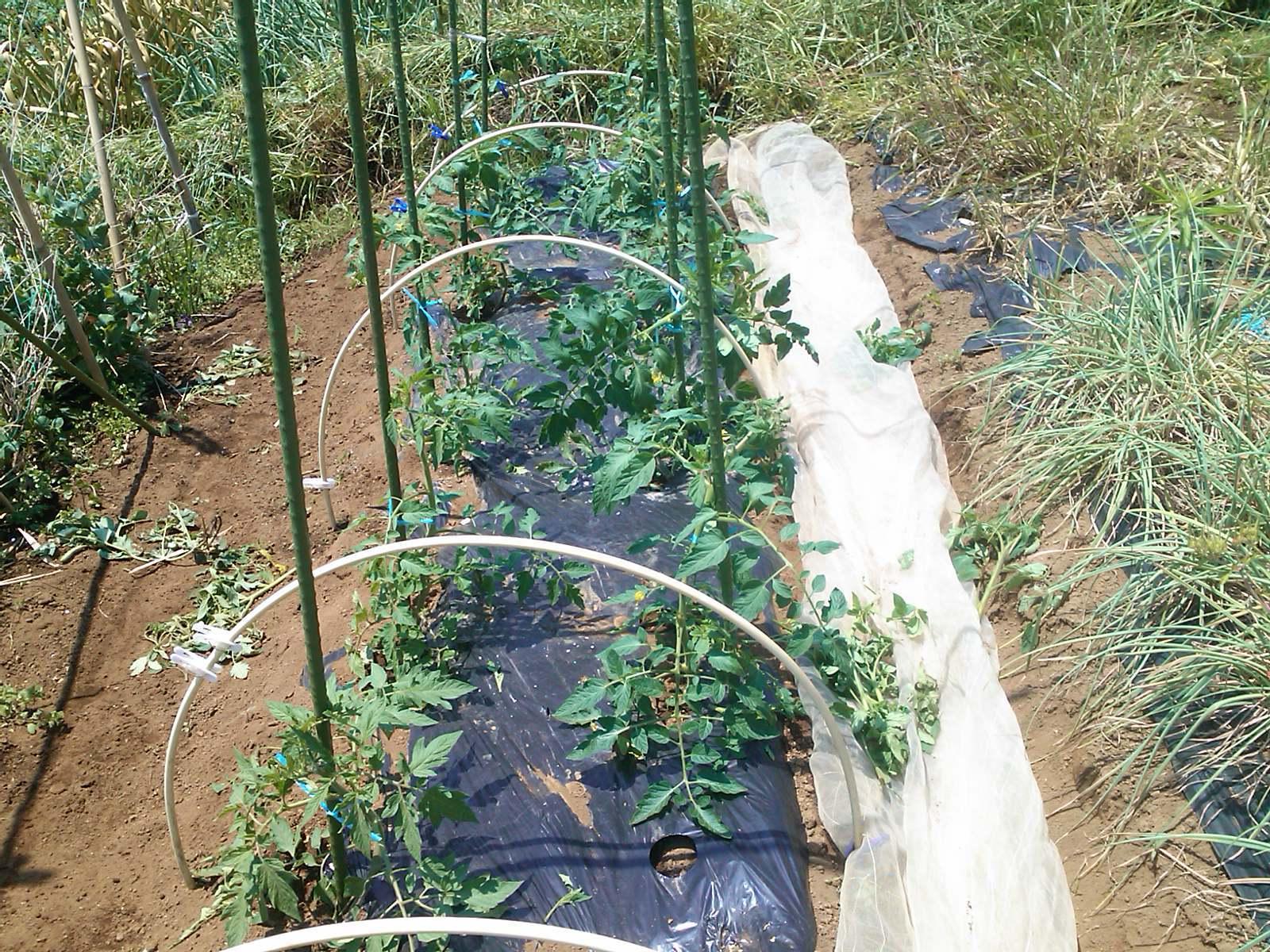 夏野菜の手入れ_b0137932_17535647.jpg