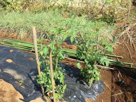 夏野菜の手入れ_b0137932_18055140.jpg