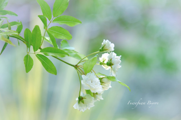 薔薇の季節 **_d0344864_18372534.jpg