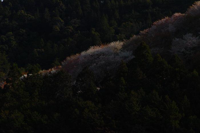 桜  2017  奈良吉野山_f0021869_00390897.jpg