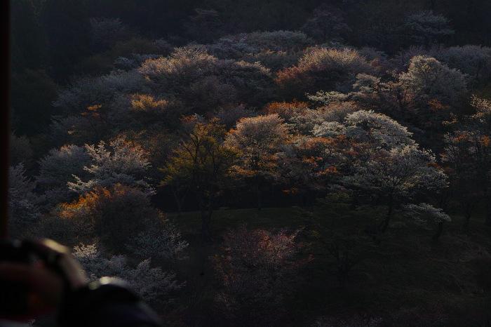 桜  2017  奈良吉野山_f0021869_00402299.jpg