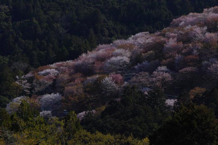 桜  2017  奈良吉野山_f0021869_00425002.jpg