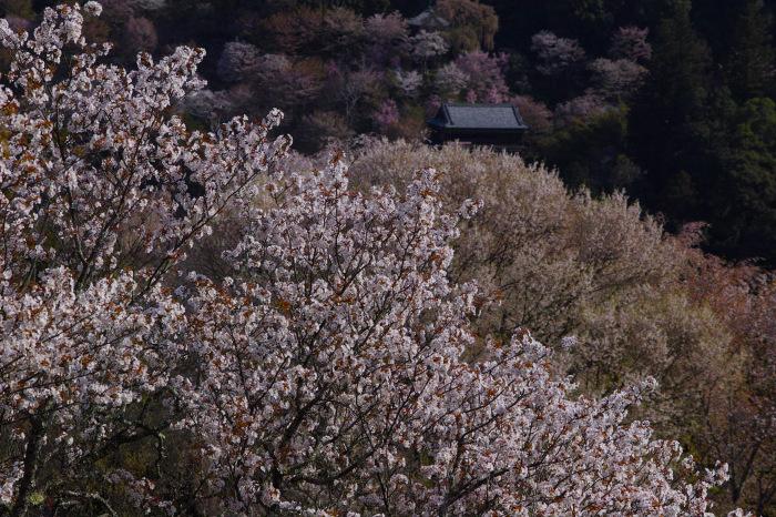 桜  2017  奈良吉野山_f0021869_00444423.jpg
