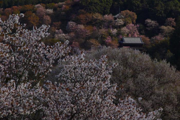 桜  2017  奈良吉野山_f0021869_00455293.jpg