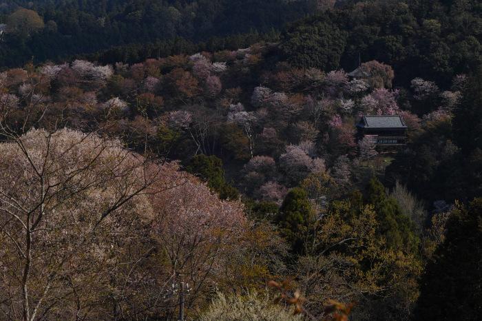 桜  2017  奈良吉野山_f0021869_21533529.jpg