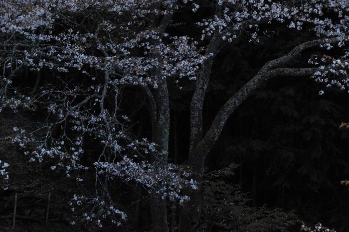 桜  2017  奈良吉野山_f0021869_21545189.jpg