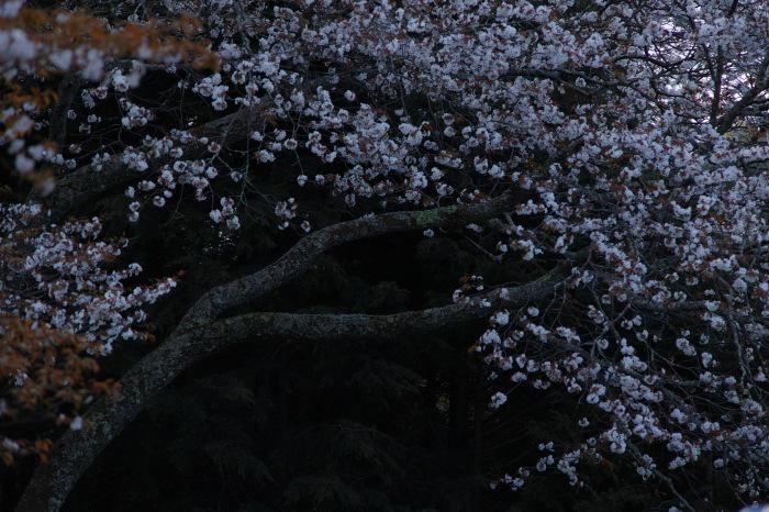 桜  2017  奈良吉野山_f0021869_21562118.jpg