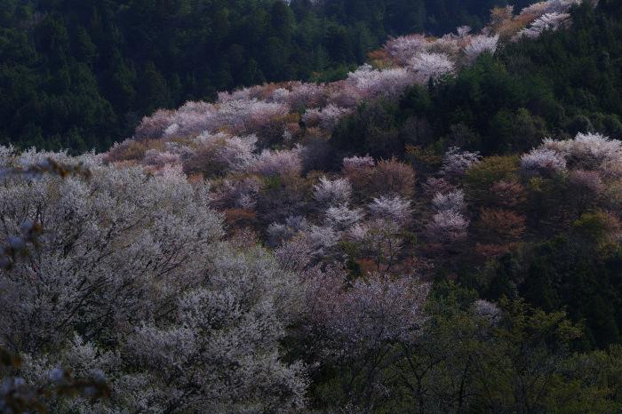 桜  2017  奈良吉野山_f0021869_22121533.jpg