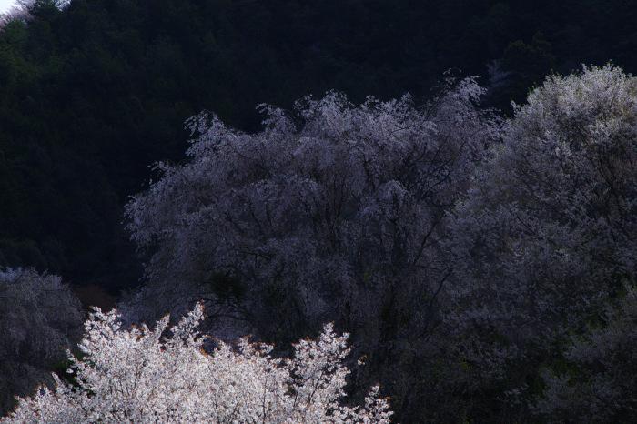 桜  2017  奈良吉野山_f0021869_22134853.jpg