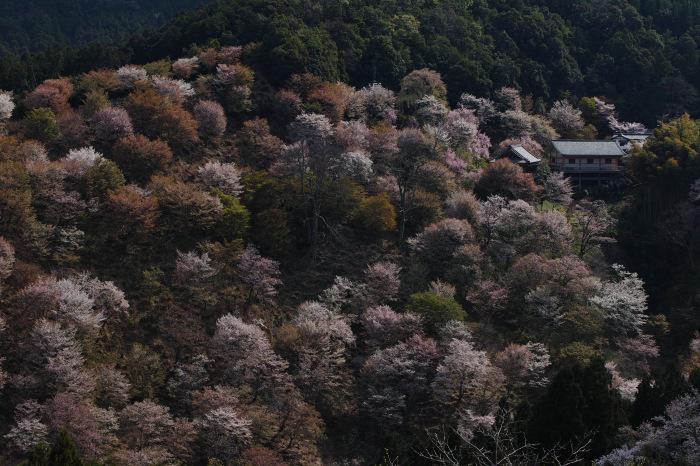桜  2017  奈良吉野山_f0021869_22175141.jpg