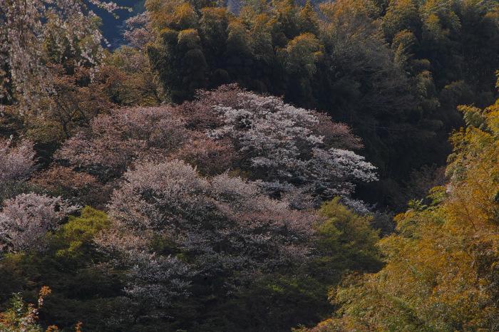 桜  2017  奈良吉野山_f0021869_22190153.jpg