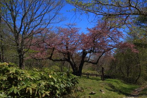 金糞平の桜へ_f0075075_14234088.jpg