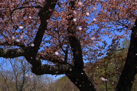 金糞平の桜へ_f0075075_14243744.jpg