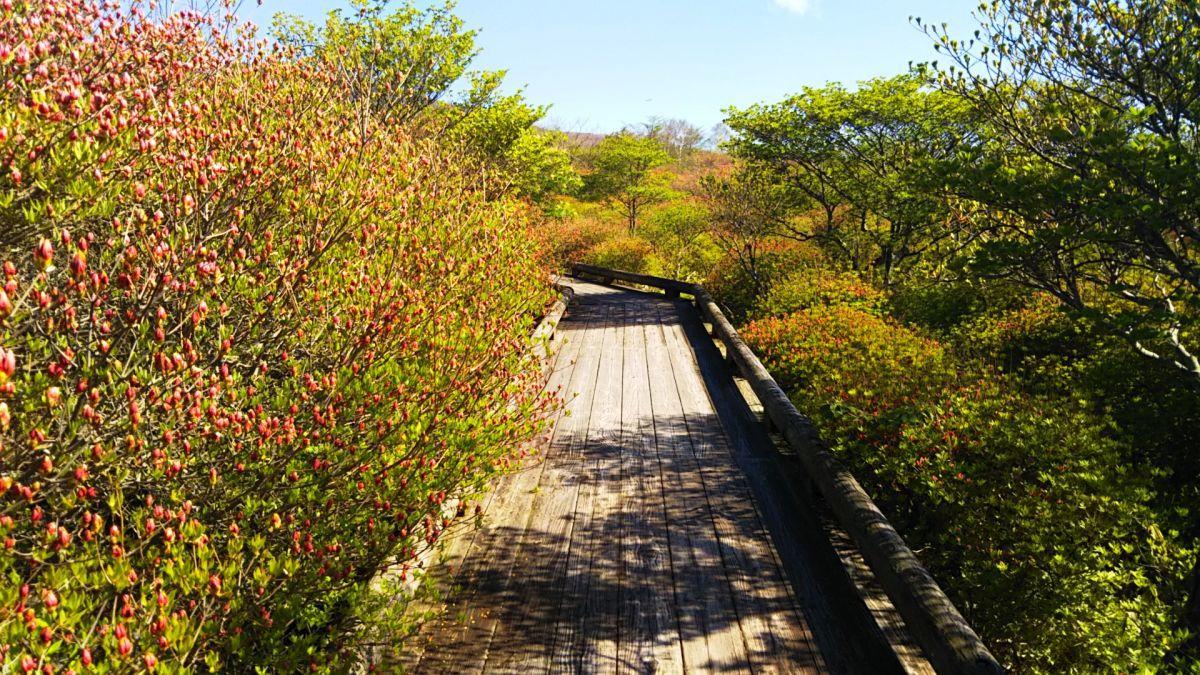 八幡のツツジ群生地開花状況2017年5月19日 : 那須高原ペンション通信(オーナー通信)