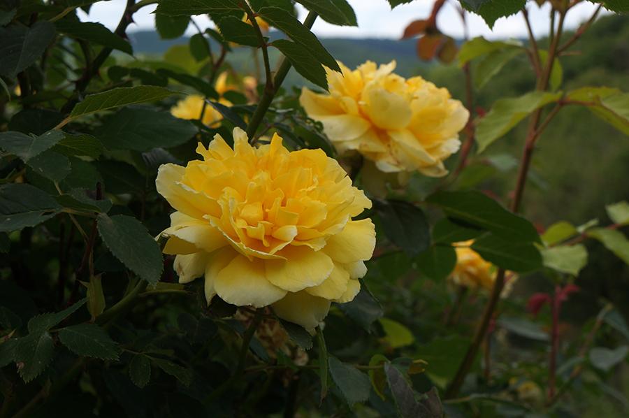 今年もユキのバラが咲きました♩_f0106597_03410179.jpg
