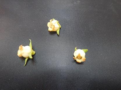 柿の花_e0077899_925513.jpg