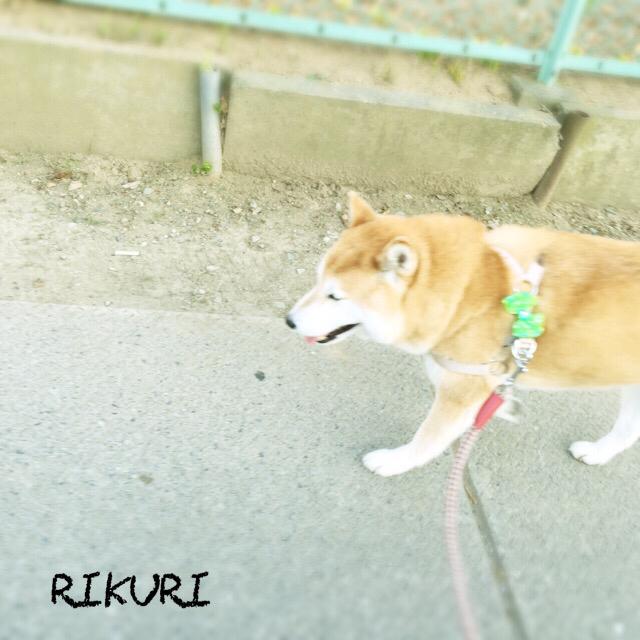 お散歩代行   〜  コロくん 〜_a0284100_20195791.jpg