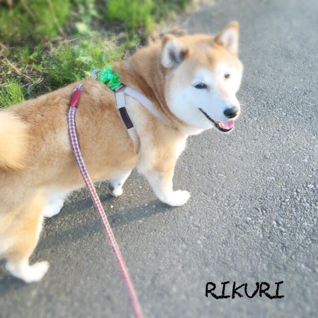 お散歩代行   〜  コロくん 〜_a0284100_20195929.jpg