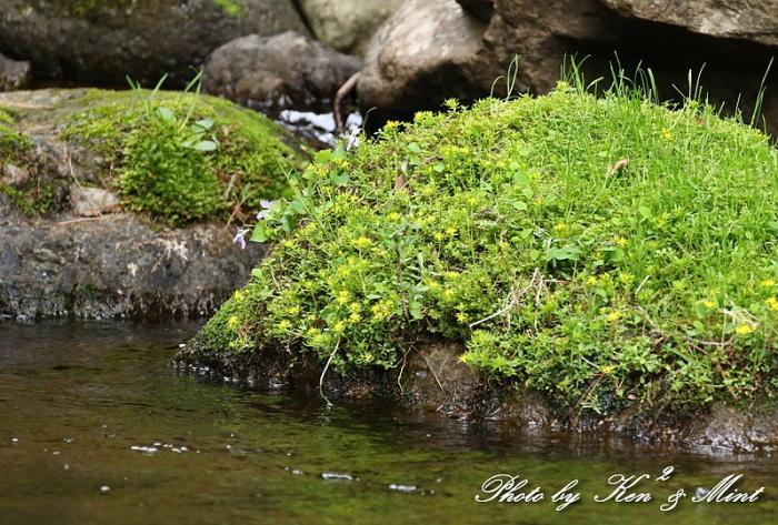 ヤマブキの花とエナガさん♪ おまけ・・クロツグミ、キセキレイさん♪_e0218518_21211511.jpg