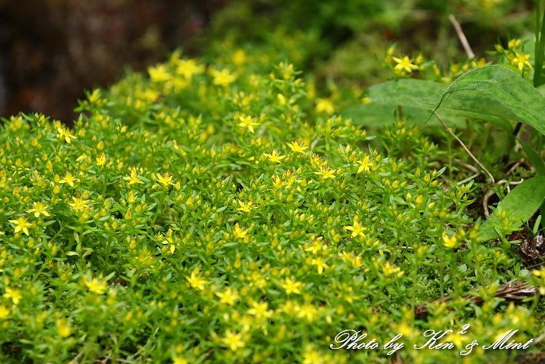 ヤマブキの花とエナガさん♪ おまけ・・クロツグミ、キセキレイさん♪_e0218518_21214191.jpg