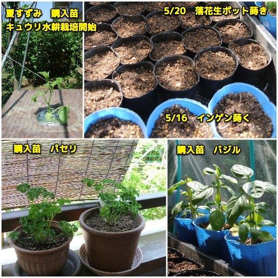 家庭菜園自宅編_c0063348_17242731.jpg