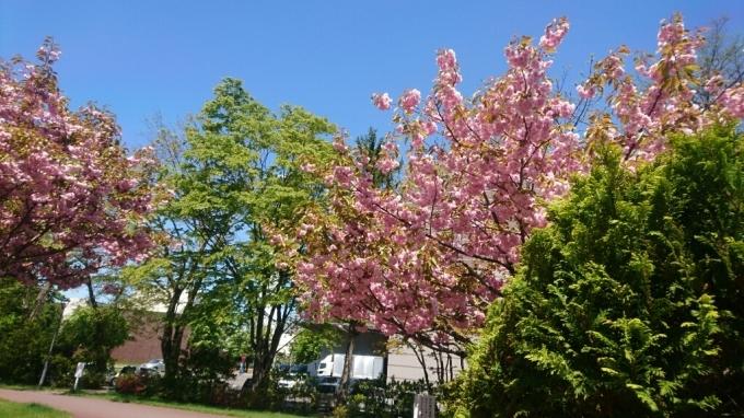 2017年5月20日(土)今朝の函館の天気と気温は。桜の名所、五稜郭公園内の箱館奉行所売店にイカの形の土産品あります。_b0106766_05302712.jpg
