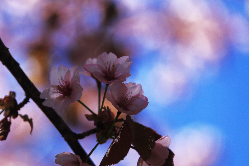 金糞平の桜へ_f0075075_1158276.jpg