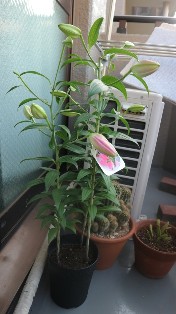 咲きましたよ!_f0280186_21091663.jpg