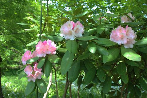 アトリエの庭のシャクナゲ_e0054299_11314888.jpg