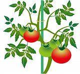夏野菜の手入れ_b0137932_13480091.jpg