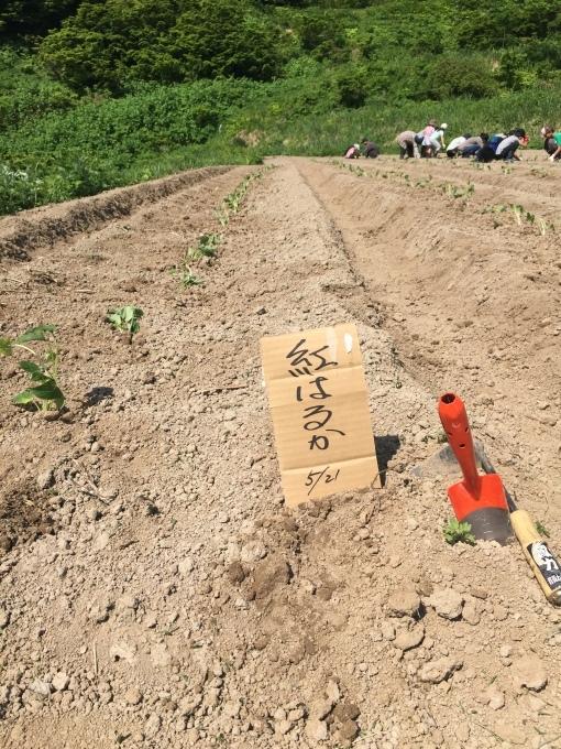 サツマイモの苗を植えました。_d0182179_16171786.jpg