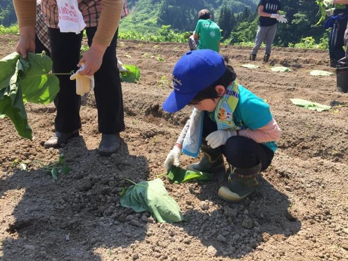 サツマイモの苗を植えました。_d0182179_16282118.jpg