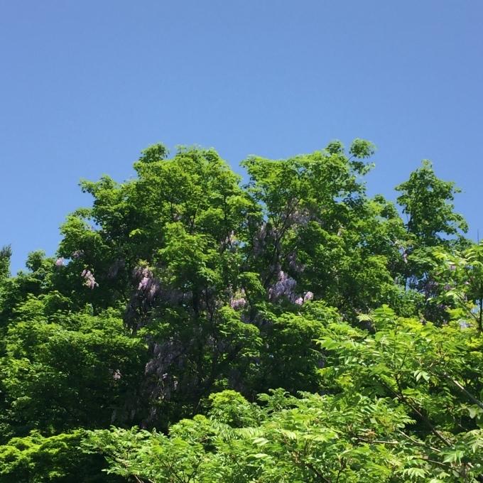 サツマイモの苗を植えました。_d0182179_16310857.jpg