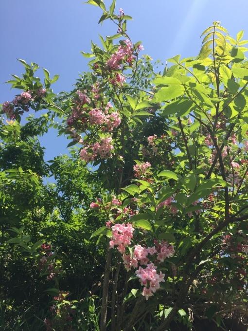 サツマイモの苗を植えました。_d0182179_16313494.jpg