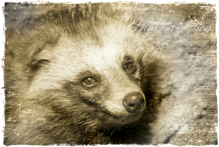 ホンドタキ:Japanese Raccoon Dog_b0249597_20174251.jpg