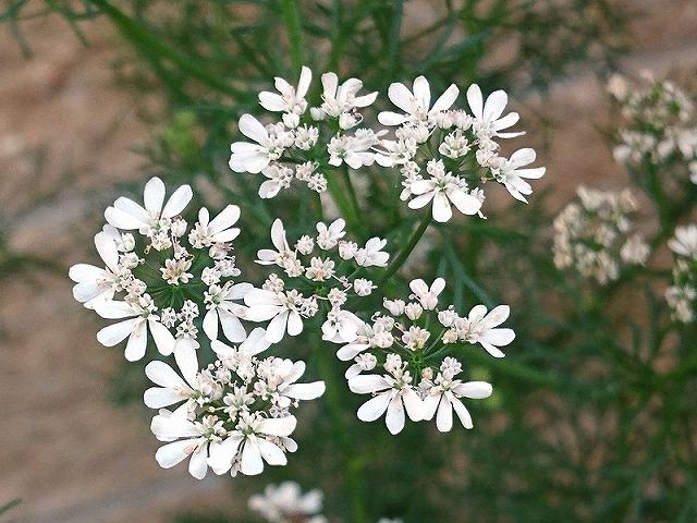 コリアンダーの花についた虫_e0289203_21553596.jpg