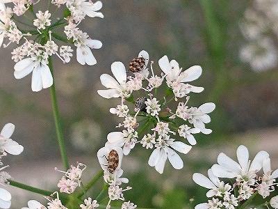 コリアンダーの花についた虫_e0289203_21553955.jpg