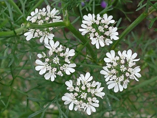 コリアンダーの花についた虫_e0289203_22144775.jpg