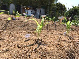 いろんな夏野菜が植わっていました_f0079749_17352885.jpg