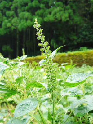 白えごま油『ピュアホワイト』販売開始!熊本県菊池市菊池水源で無農薬、無化学肥料で育てた白えごま油です!_a0254656_17502279.jpg