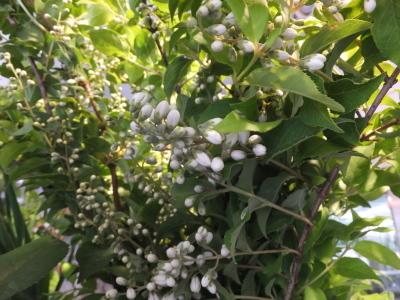 オークリーフ(おすすめの花クレマチス)_f0049672_15333441.jpg