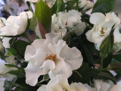 オークリーフ(おすすめの花クレマチス)_f0049672_15335472.jpg