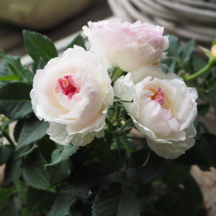 私が買ったお花_a0292194_23273390.jpg