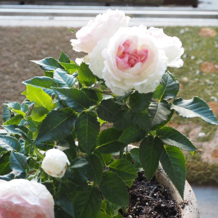 私が買ったお花_a0292194_23592759.jpg